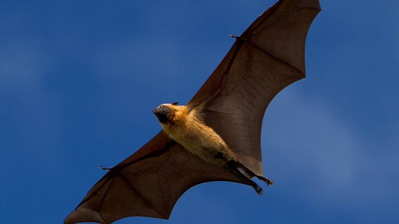 Photo Of Huge 'Human-Size' Bat Giving People Nightmares